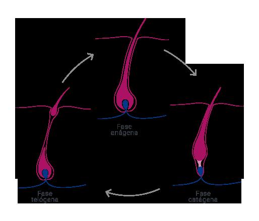 Infografía fases de pelo