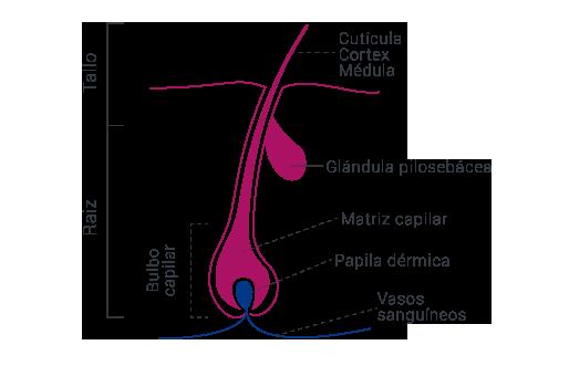 Infografía partes del cabello