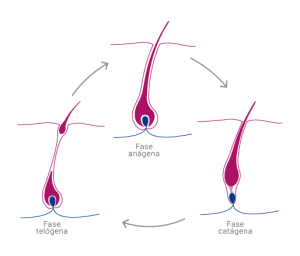 ciclo del cabello